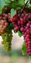 Sagra dell'uva 2016