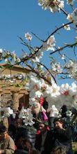 Sagra del mandorlo in fiore di Agrigento