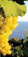 Settembrata Anacaprese, la Festa dell'Uva