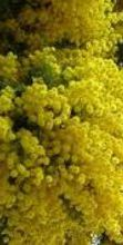 Sagra della mimosa a Pieve Ligure