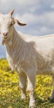 Les Batailles des Chèvres, la Battaglia delle capre 2016