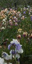 Apertura straordinaria Giardino Iris di Firenze