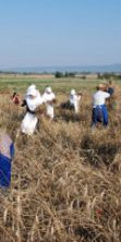 Sagra della mietitura e trebbiatura del grano