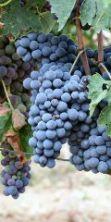 Fiera del Sangiovese 2016, una giornata all'insegna del buon vino e della buona tavola