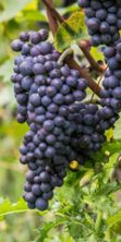 Festival Aglianico, la kermesse dedicata al vino
