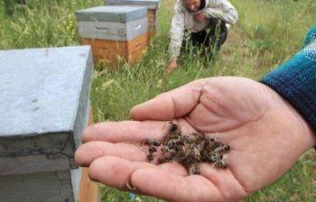 Se le api fossero grandi come mucche, saremmo spaventati dai milioni di carcasse nei campi. Invece sono piccole e chi denuncia il problema fa fatica a dimostrarne la portata
