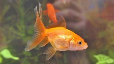Quanto può vivere un pesce rosso?