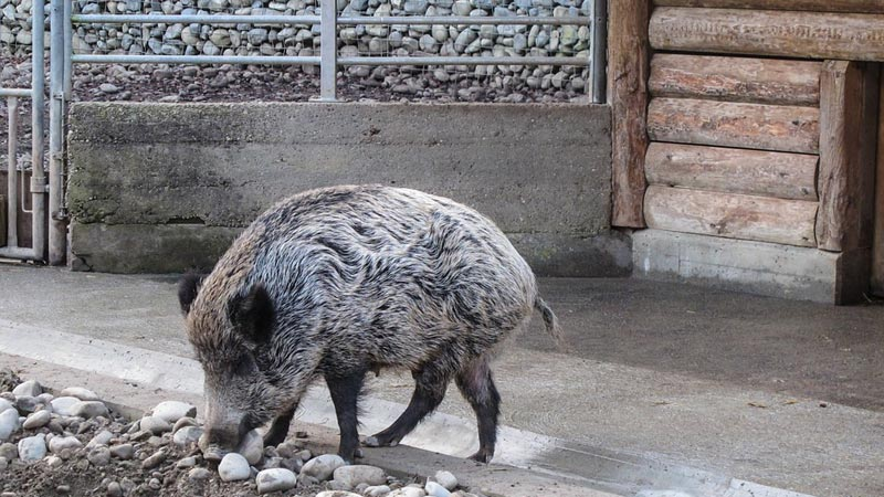 Amazing Aumentano Gli Animali Selvatici Nelle Città Italiane