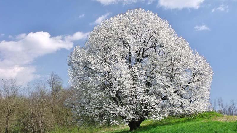 Il ciliegio magico è un albero monumentale