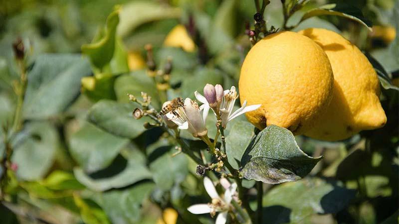 A Rocca Imperiale di Calabria c'è il re dei limoni