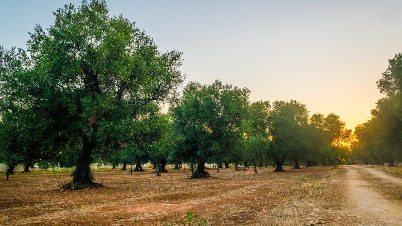 Camminata tra gli olivi: tra storia e tradizioni