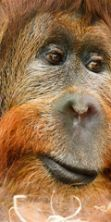Giornata mondiale dell'orango