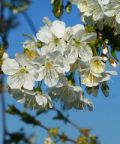 4 Ville in Fiore, festa di primavera tra i meli in fiore