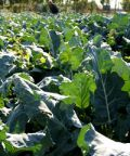Broccoletti in piazza: appuntamento con la tradizione e la tipicità gastronomiche