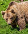 Alla scoperta dell'orso (bearwatching)