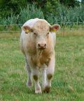 Antica fiera del Bestiame del Valdarno