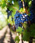 Settembre a Panicale ed è festa dell'uva e del vino