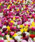 Tulipani a corte a Govone