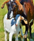 Mostra Caprina - In mostra le capre della Langa Astigiana