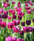 Festa del Tulipano a Castiglione del Lago