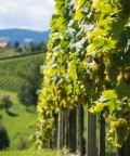 44ma Mostra dei Vini del Montello e dei Colli Asolani