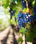 SoloVino 2018, manifestazione dedicata ai viticoltori d'Italia