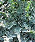 Sagra del Broccolo