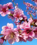 Pedaso Hanami, festa dei ciliegi in fiore