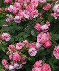 Festa delle Rose 2018