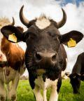 Fiera primaverile e mostra bovina