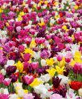 Settimana del Tulipano a Villa Taranto