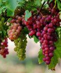 La Festa dell'uva. Kermesse di musica e folklore