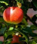 Gli antichi frutti d'Italia si incontrano a Pennabilli