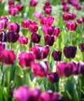 Calderara in fiore, torna la festa di Primavera