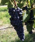 Ciliegiolo d'Italia, un viaggio nell'uva Ciliegiolo