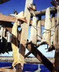 Cantalupo-Varazze: lancio dello stoccafisso