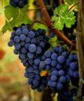 Festa dei vignaiuoli 2018, calici ricolmi di vino