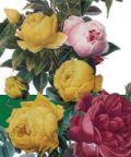 Premio della Rosa al Castello Reale